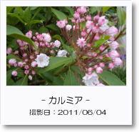 - 季節の花 - カルミア