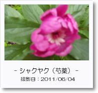 - 季節の花 - シャクヤク