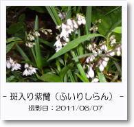 - 季節の花 - 斑入り紫蘭