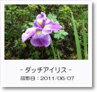 - 季節の花 - ダッチアイリス
