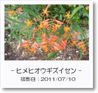 - 季節の花 - ヒメヒオウギズイセン