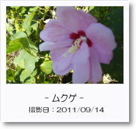 - 季節の花 - ムクゲ