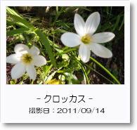 - 季節の花 - クロッカス