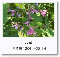 - 季節の花 - ハギ