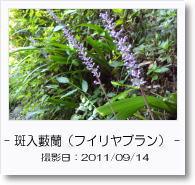 - 季節の花 - フイリヤブラン