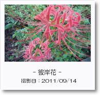 - 季節の花 - 彼岸花