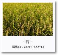 - 季節の花 - 稲