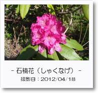 - 季節の花 - しゃくなげ