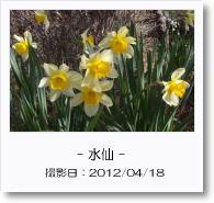 - 季節の花 - 水仙