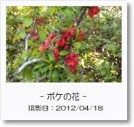 - 季節の花 - ボケの花