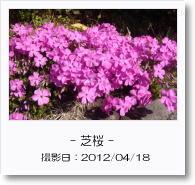 - 季節の花 - 芝桜