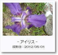 - 季節の花 - アイリス