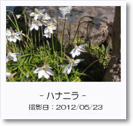 - 季節の花 - ハナニラ