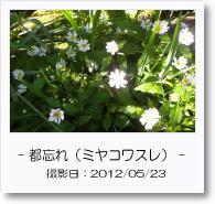 - 季節の花 - ミヤコワスレ