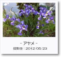 - 季節の花 - アヤメ