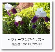 - 季節の花 - ジャーマンアイリス