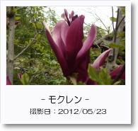 - 季節の花 - モクレン