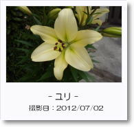 - 季節の花 - ユリ