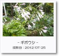 - 季節の花 - ギボウシ