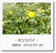 - 季節の花 - キンシバイ