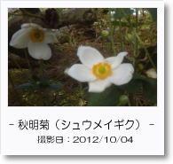 - 季節の花 - 秋明菊