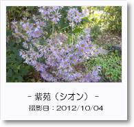 - 季節の花 - 紫苑