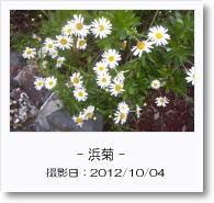 - 季節の花 - 浜菊